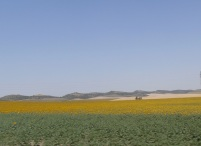 Sunflower field, Cadiz, Spain