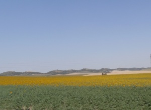 Sunflower field, Cadiz, Spain