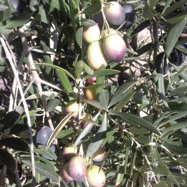 Olives Ripening